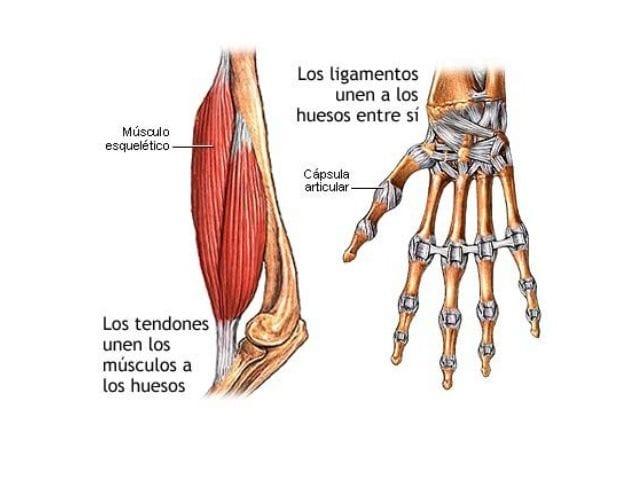 Músculos, tendones y ligamentos - Enciclopedia Online