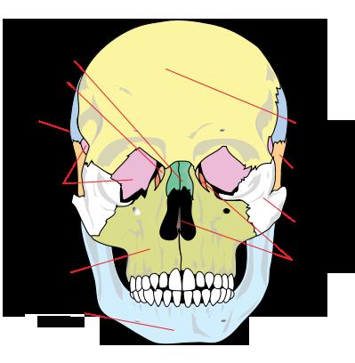 El cráneo - Enciclopedia Online