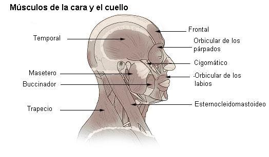 Músculos de la cara, cabeza y cuello - Enciclopedia Online