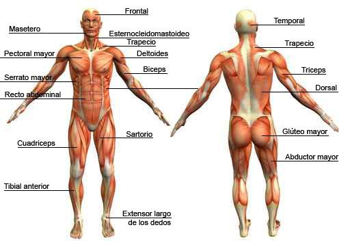 Sistema muscular humano - Enciclopedia Online