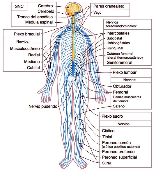 Nervios Periféricos - Enciclopedia Online